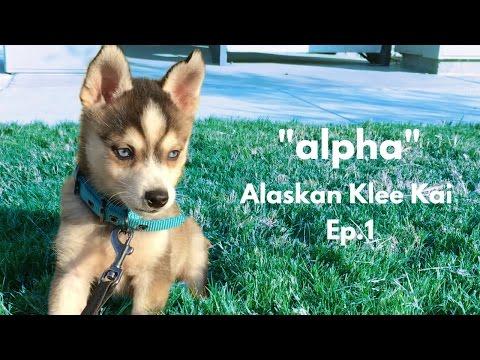 ''alpha'' Alaskan Klee Kai - Miniature Husky | Ep.1