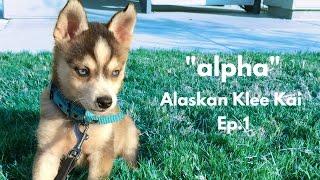 ミニチュアハスキー。アラスカ州原産の小さきハスキー「アラスカンクリーカイ」