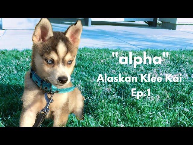 """alpha"" Alaskan Klee Kai – Miniature Husky | Ep.1"