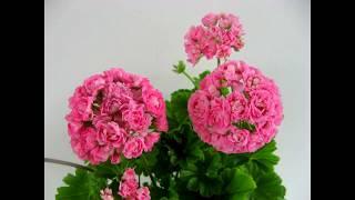 Пеларгонии розебудные в моей коллекции. Часть 1. Пеларгонии Свирской Елены. Санкт-Петербург.