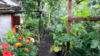 Allotment Gardening July - The heat arrives