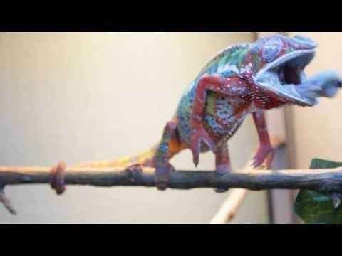 Slow Motion Ambilobe Panther Chameleon Eating