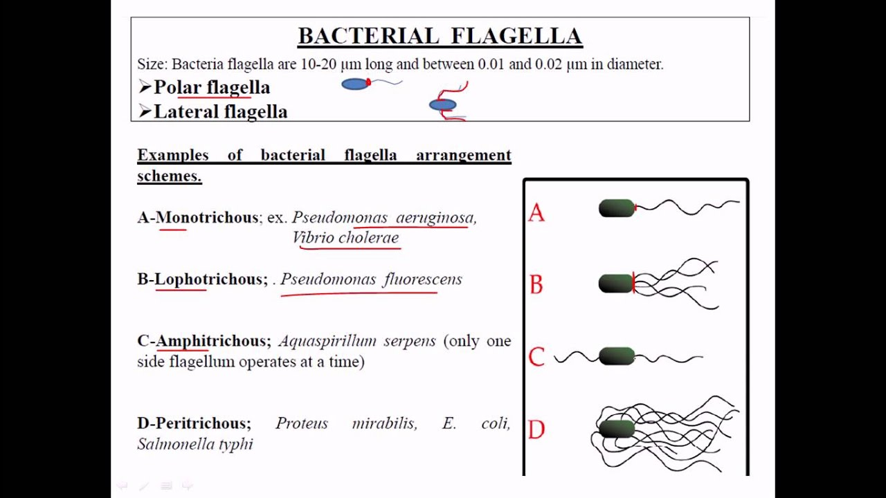 small resolution of types of flagella