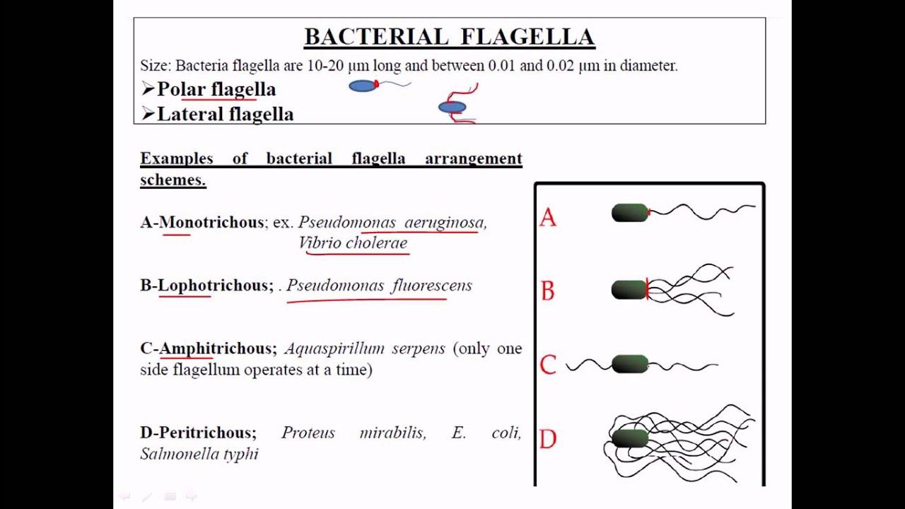 medium resolution of types of flagella
