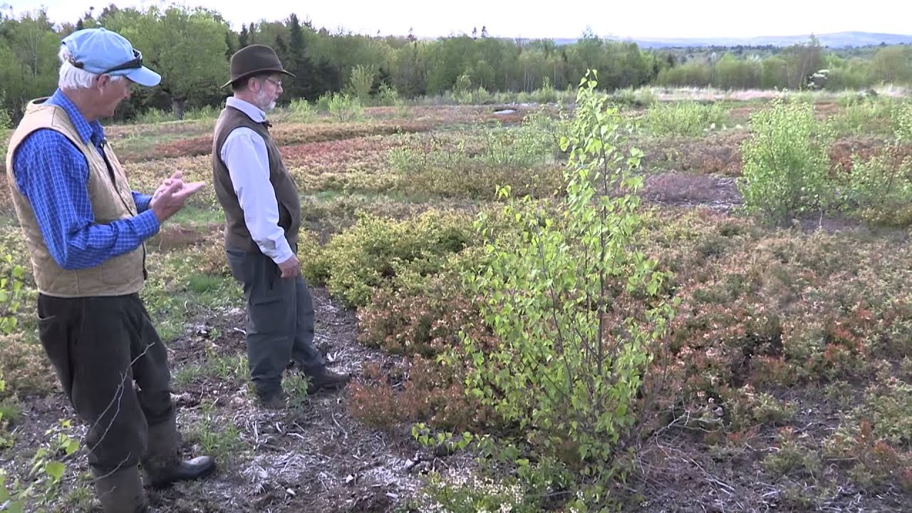 Lowbush Blueberry In Maine Native Plants And Native Bees