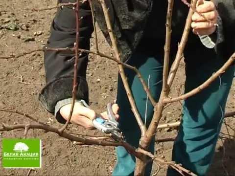 Свой Сад - Урок 10 - Обрезка плодовых ( фруктовых ) деревьев: абрикос и яблоня.