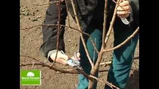 Свой Сад - Урок 10 - Обрезка плодовых ( фруктовых ) деревьев: абрикос и яблоня.(Периодическая обрезка плодовых ( фруктовых ) деревьев -- важный садоводческий прием ухода садовыми деревьям..., 2013-05-14T09:48:57.000Z)