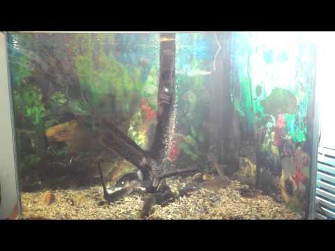Кормление судака, окуня и щуки в аквариуме.