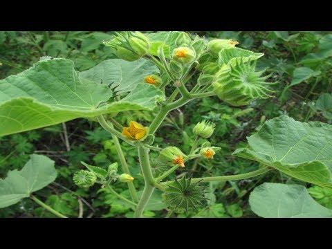 ⟹ Velvetleaf | Abutilon Theophrasti | Wild Plants To Know About