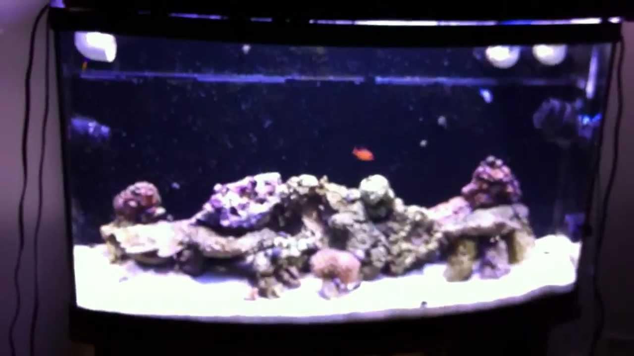 46 Gallon Bow Front Aquarium - Chromis swimming laps around tank & 46 Gallon Bow Front Aquarium - Chromis swimming laps around tank ...