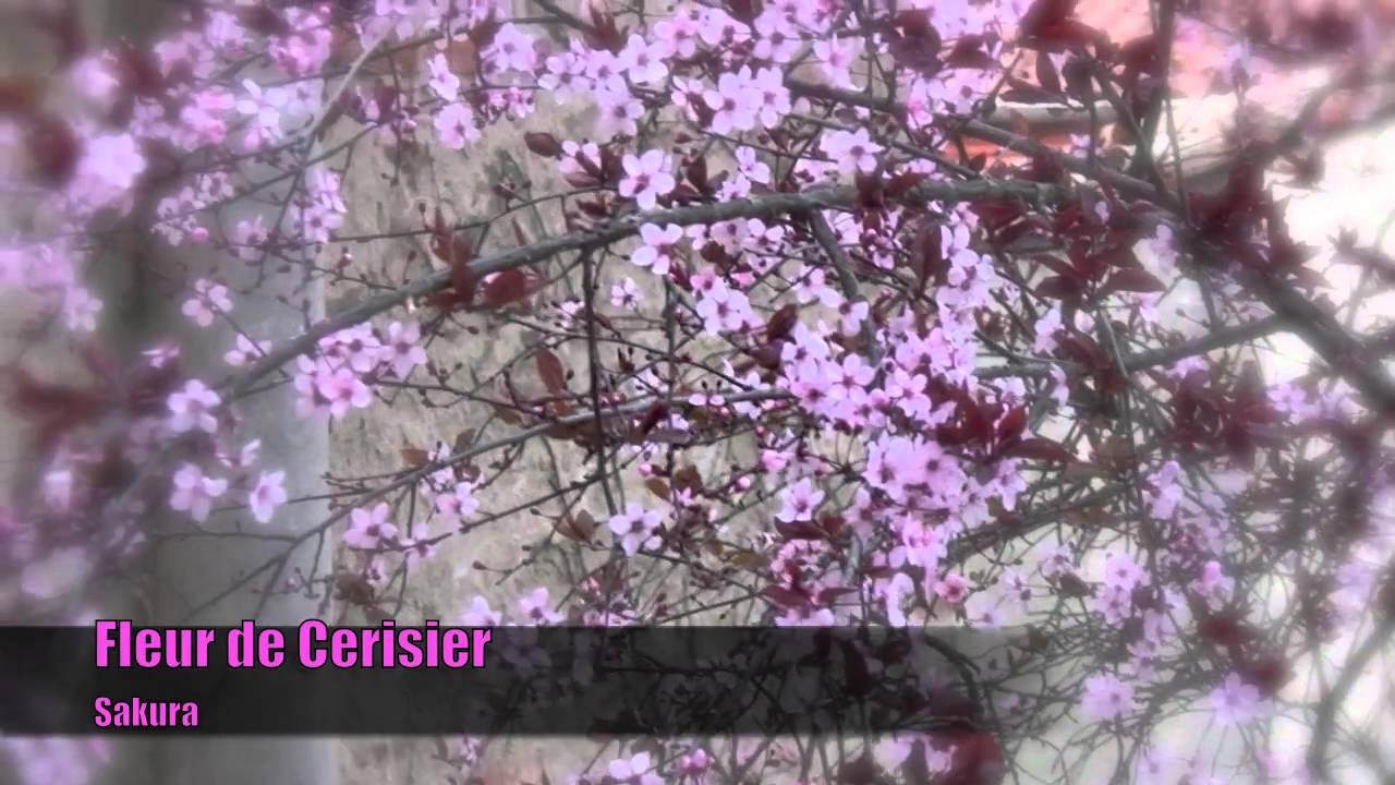 fleur de cerisier sakura youtube. Black Bedroom Furniture Sets. Home Design Ideas