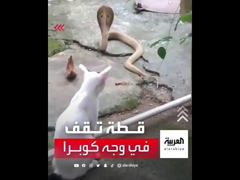 قطة منزلية تقف في وجه ثعبان كوبرا حاول الدخول إلى أحد المنازل بالهند  - نشر قبل 42 دقيقة