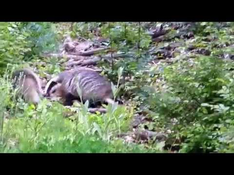 European badgers in the forest
