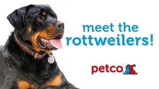 Rottweiler Dog Breed (petco)