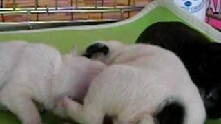 2009年7月19日生まれ ・☆ホワイト男の子 2匹、☆パイド女の子 2匹、☆ブリ...