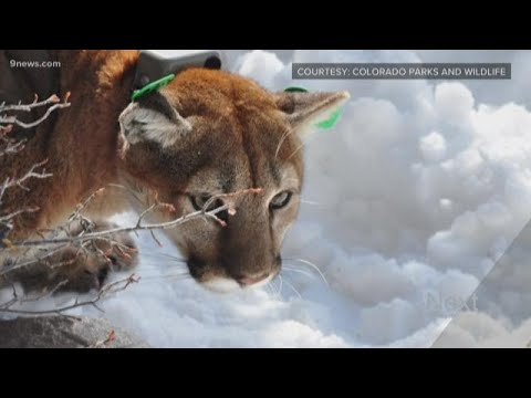 What GPS tracking tells us about mountain lions in Colorado