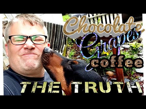Doberman Pinscher Vlog - Chocolate Grapes Beer Coffee - THE TRUTH