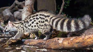 Генета — характер кота, ловкость куницы и пышный хвост лисицы! Интересные факты о генетах.