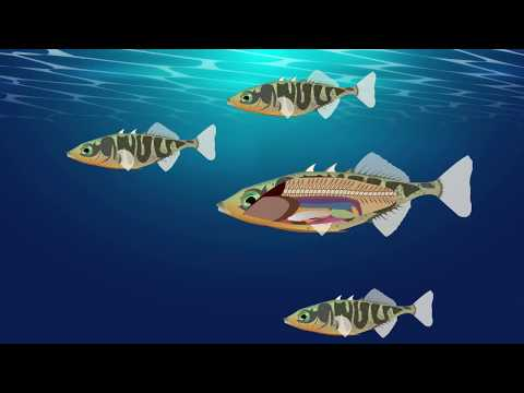 How Temperature Influences The Fitness Of Fish And Their Tapeworm Parasites