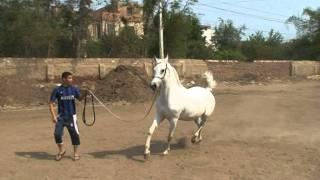 مزرعة مهنا - خيول عربية اصيلة سلالات نادرة   -hayaaaaaaaaa -
