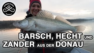 TRIPLE! - Barsch, Hecht und Zander aus der Donau beim Vertikalangeln und Spinnfischen 🎣❤️ #strklvrs