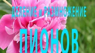 Пионы: ДЕЛЕНИЕ пионов - РАЗМНОЖЕНИЕ пионов. PEONIES(Пионы - прекрасные цветы! В этом видео вы увидите как правильно выкопать куст пионов для деления и размножен..., 2015-04-19T17:12:20.000Z)