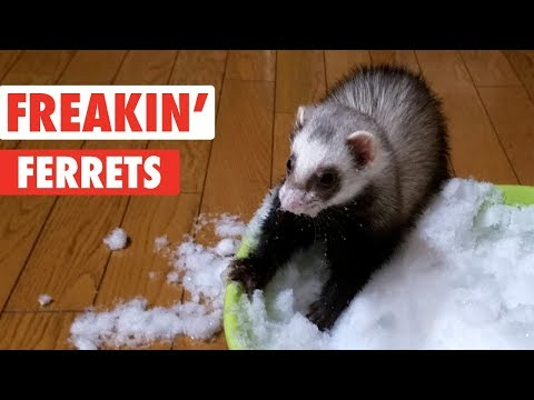 Freakin' Ferrets | Funny Pet Video Compilation