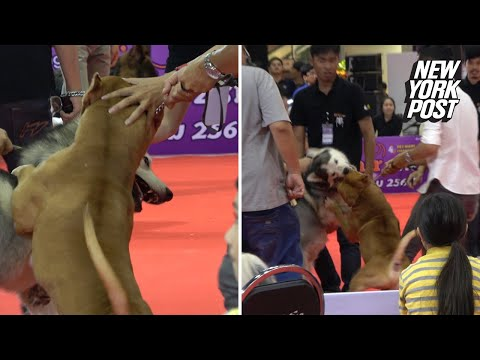 Pit Bull Viciously Attacks Another Dog At Pet Show   New York Post