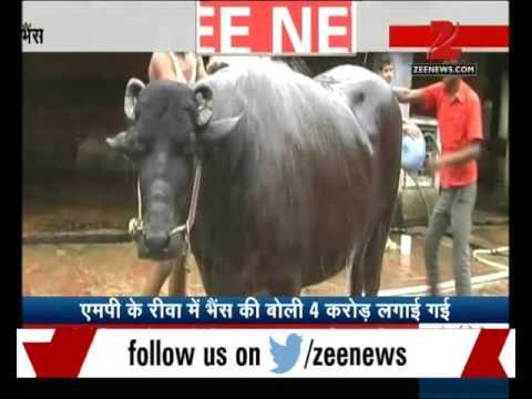 A Buffallo worth Rs.4 Crore in M.P.'s Rewa