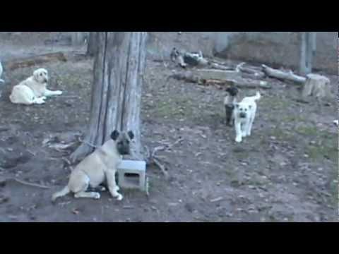 Livestock Guardian Dogs Boz Shepherd Dogs