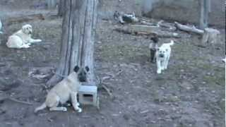 Livestock Guardian Dogs Boz Shepherd Dogs
