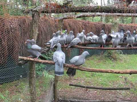 chasse la palombe regroupement des pigeons en voli re. Black Bedroom Furniture Sets. Home Design Ideas