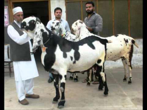 List of Goat Breeds