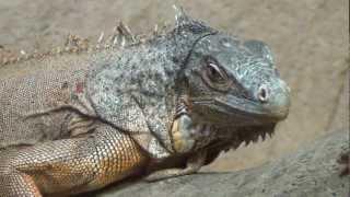 Iguanes @ Alligator Bay