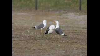 Lesser Black-backed Gull, First Things First