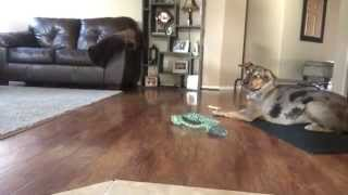 Hyper Catahoula Learns Advanced Obedience With E Collar Training