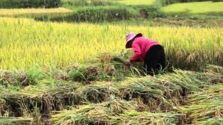 Rice harvest Sapa Vietnam