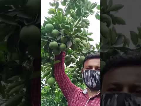 Sweetlime Farming, unique techniques of horticulture #shorts #israeltech #indoisrael #uhdpsewwtlime