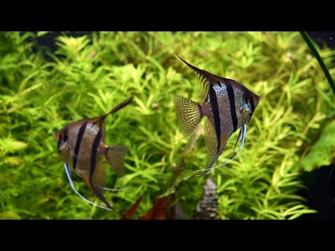 What Is An Angelfish?