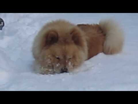 Chow Puppy's First Snow
