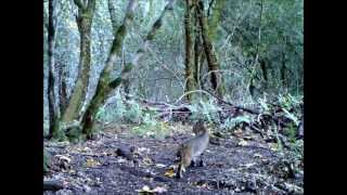 Bobcat Video Daytime Napa County, Northern California