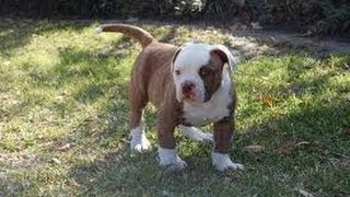 American Bulldog, Puppies, For, Sale, In, Jackson, Mississippi, Ms, Clinton, Pearl, Horn Lake