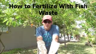 Use Fish Waste to TURBO CHARGE Your Garden and Fruit Trees