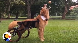 Disabled Golden Retriever Never Gives Up  | The Dodo