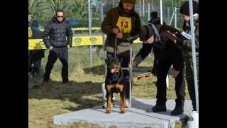Ztp Rottweiler Coltano Pisa 01/12/2013