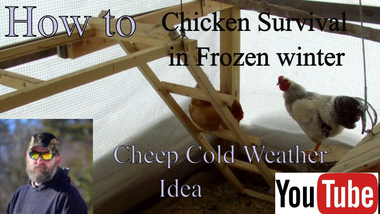 Chicken Survival In Frozen Winter In Northern Wisconsin