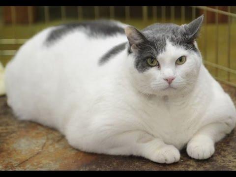Fat Cat-World's Fattest Cats [Top - 20.4KB