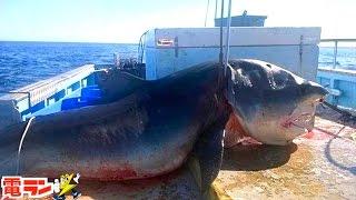 【衝撃】実際に釣れた巨大すぎる海洋生物8選 thumbnail