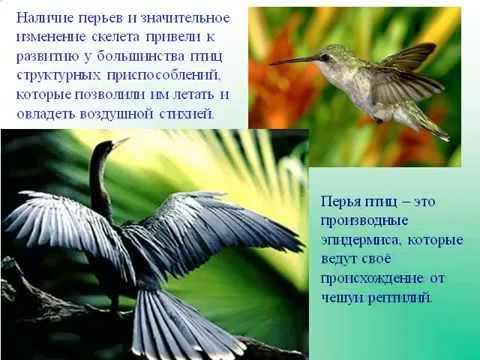 Внешнее строение птиц. Строение перьев.AVI
