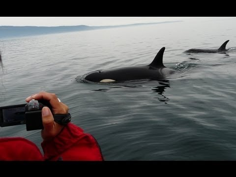 Orca whale watching close encounters Vancouver Island